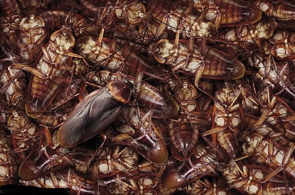 cockroach population